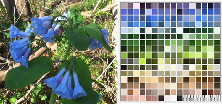 colors of Virginia bluebells sm